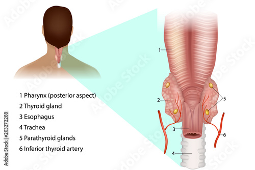 Parathyroid glands. Medical illustration of the thyroid and ...