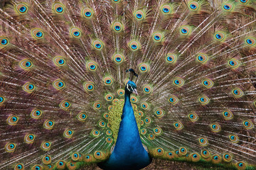 Colorful peacock with open tail