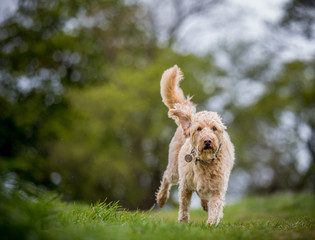 The Golden Labradoodle