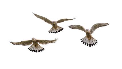 Falke im Flug, freigestellt