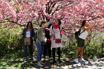 Women take selfie photographs beneath a blooming cherry tree on a warm spring day in Central Park in New York City