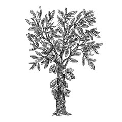 Cocoa tree. Sketch. Engraving style. Vector illustration.