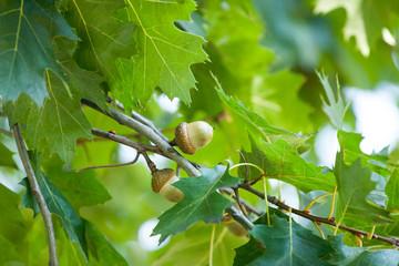 Spring Acorn And Ladybug On An Oak Tree