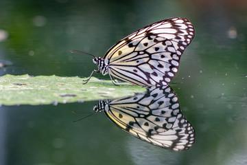 Weißebaumnymphe auf Seerosenblatt mit Spiegelung