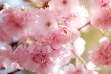 Cherry Blossom trees, Nature and Spring time background. Pink Sakura flowers