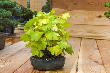 Bonsai tree  - Ginkgo
