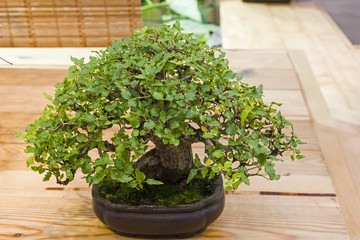 Bonsai tree  - Chinese hackberry