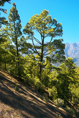 Forest with subspecies pines Pinus canariensis in Caldera of Taburiente, La Palma, Canary Islands