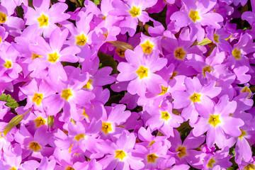 A beautiful flower has purple violet. Texture.
