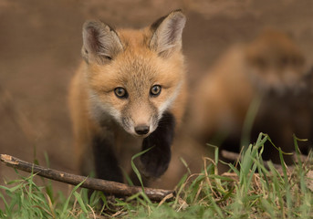Young red fox kit is friendly and curious outside his den in a meadow