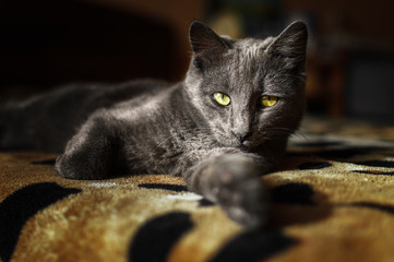 Gray cat lying on the bed