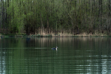 Great crested grebe on a big lake