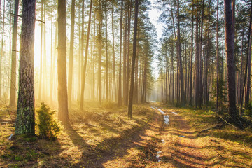 Bright sunlight in spring forest. Morning landscape of green forest. Picturesque forest road. Woodland with vivid sunbeams. Natural nature
