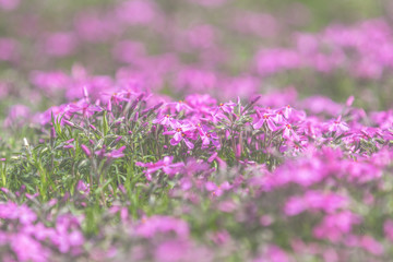 Pink Phlox on the Spring Sunny Lawn
