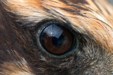 eagle eye close-up, macro photo, eye of the Marsh harrier (Circus aeruginosus)