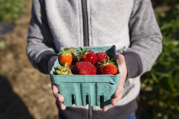 Midsection of boy holding harvested strawberries in container at farm