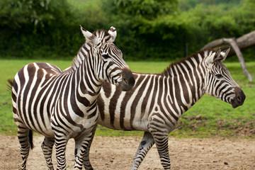 African striped coats zebras