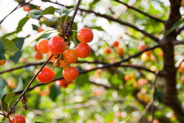 Bunch of Cherries Growing and Ripening on a Tree