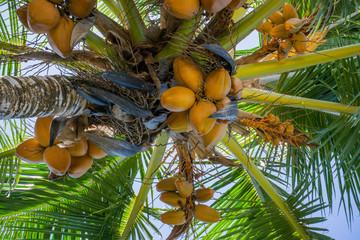 coconut palm kauai  hawaii