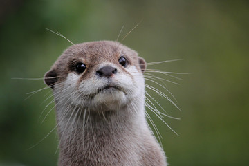 Cute close up portrait of an Asian or Oriental small clawed otter (Aonyx cinerea) with out of focus...