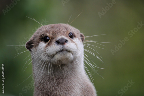 Wall mural Cute close up portrait of an Asian or Oriental small clawed otter (Aonyx cinerea) with out of focus background