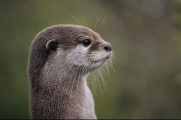 Wall Mural - Cute close up portrait of an Asian or Oriental small clawed otter (Aonyx cinerea) with out of focus background
