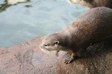 otter Asian small-clawed otters stock, photo, photograph, image, picture,