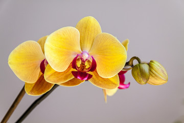 Yellow orchid flower