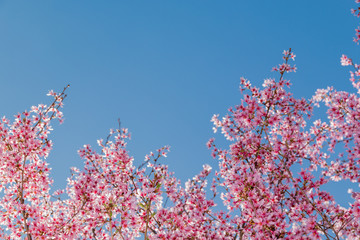 Tree branch with blooming pink cherry blossoms
