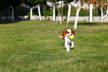 King Charles Cavalier and English Pointer, Golden Retriever run with tenis ball in the garden.