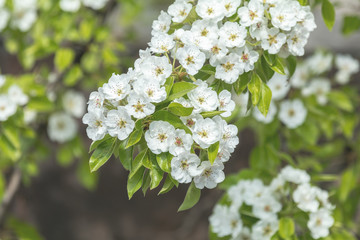Close up of White Blossom Pear Tree Branch