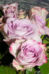 beautiful fresh purple roses with green leaf