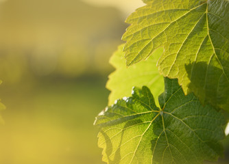 Wall Mural - Grape leaf growing on grapevine in vineyard.