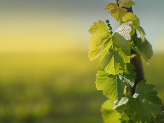 Grape leaves growing on grapevine in vineyard in spring
