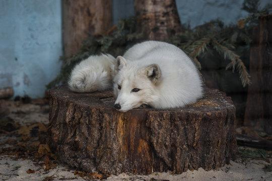 Fluffy white fox lying on a stump