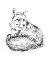 Sketch a fox,  black and white drawing.