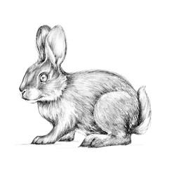 Hare, rabbit, sketch
