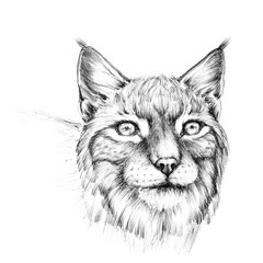 Sketch portrait head of lynx