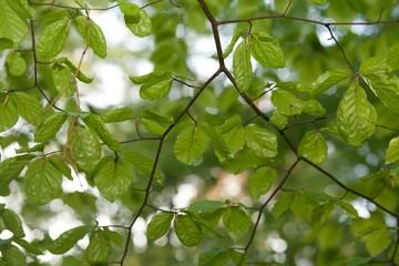 liście młodej leszczyny