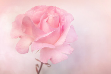 Beautiful rose in soft pastel pink tones