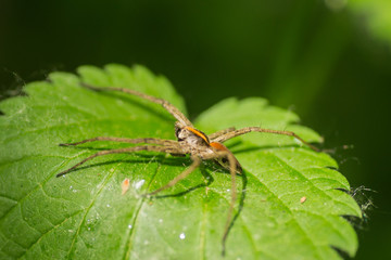 Forest spider in its natural environment