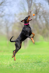 Doberman play ball in park