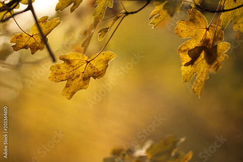 Foglie Di Acero Campestre In Autunno Stock Photo And Royalty Free