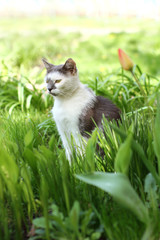 spring relaxation/ white cat with gray spots resting in a green lawn on a sunny day