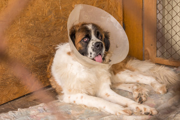 Moscow Watchdog close up dog wearing an elizabethan collar (also known as a buster collar) worn to stop her chewing at a wound.