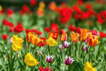 Colorful Tulips Flowers Blooming in a Park.