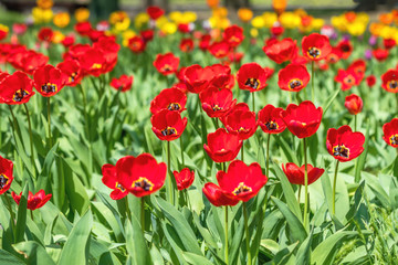 Red and Colorful Tulips Flowers Blooming in a Park.