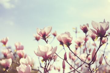 Blooming flowers of magnolia in the park.