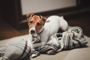 Dog breed Jack Russell red and white color checkered blanket nibbles and looks up with sad eyes.