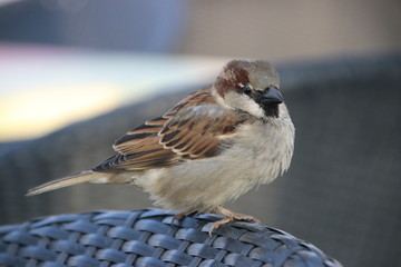 Sparrow on a chair on a beach club begging for food at tourists at the coast of the North Sea in Katwijk, The Netherlands